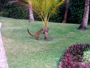 Little Coati dude. These are all over the resort and, of course, I got total Coati Tourette's whenever I saw one.