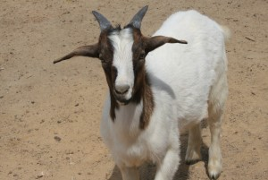 So in love with goats.